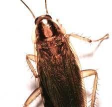 Pest Types - Cockroaches - Female