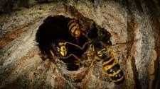 Pest Types - Wasp Nest