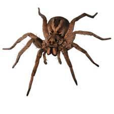 Pest Types - Wolf Spiders